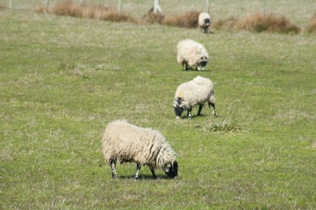 Trust urges dog owners to act responsibly after sheep deaths