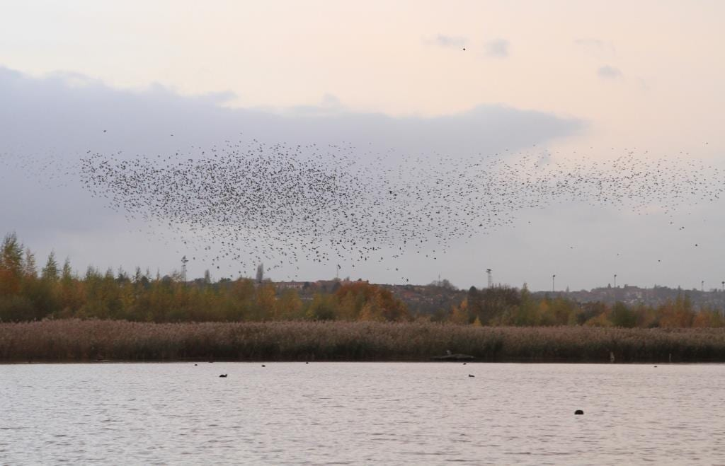 Photo of Aerial spectacular as thousands of starlings flock in Netherfield skies