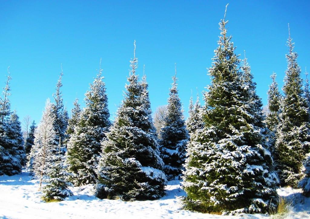 https://www.gedlingeye.co.uk/wp-content/uploads/2017/11/christmas-tree-stock.jpg