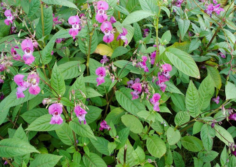 Army recruits wanted to help win war on Himalayan Balsam planning to invade Ouse Dyke in Netherfield