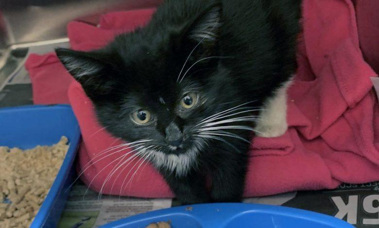 Benny the kitten is pictured at Arnold and Carlton vets