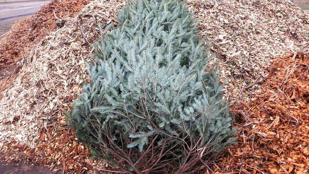 Gedling Borough Council will recycle your Christmas tree for £5 and turn it into chippings for use on our parks