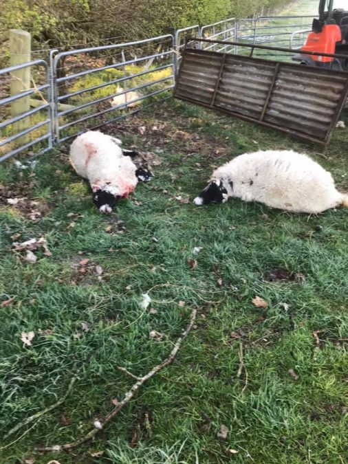 Man charged and remanded over 'grisly' sheep death in Calverton