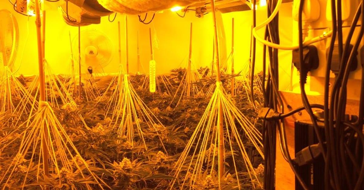 Cannabis plants in Calverton