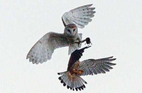 PICTURED: AN owl and kestrel fight for food over Newstead and Annelsey Country Park (PHOTO: Tim Cook)