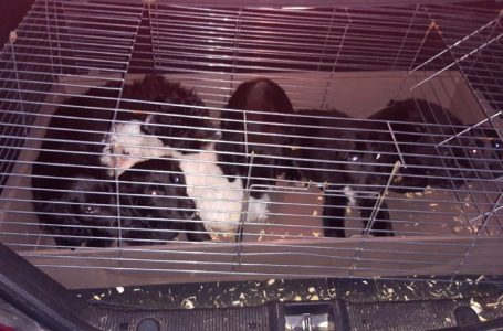 Police rescue stolen dehydrated puppies from van in Carlton