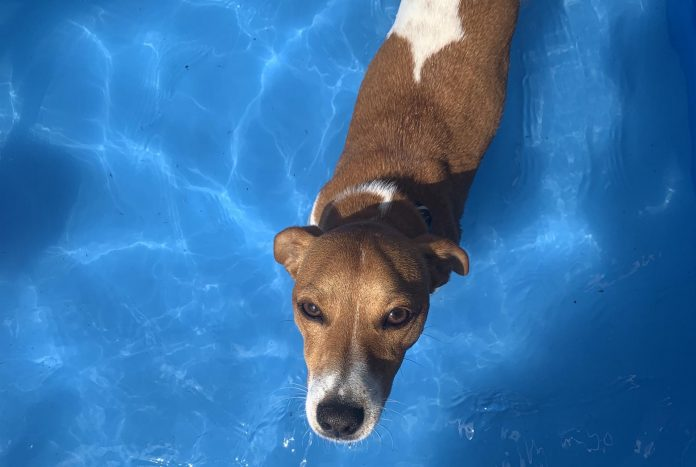 Dog heat